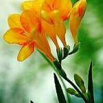 poza floare